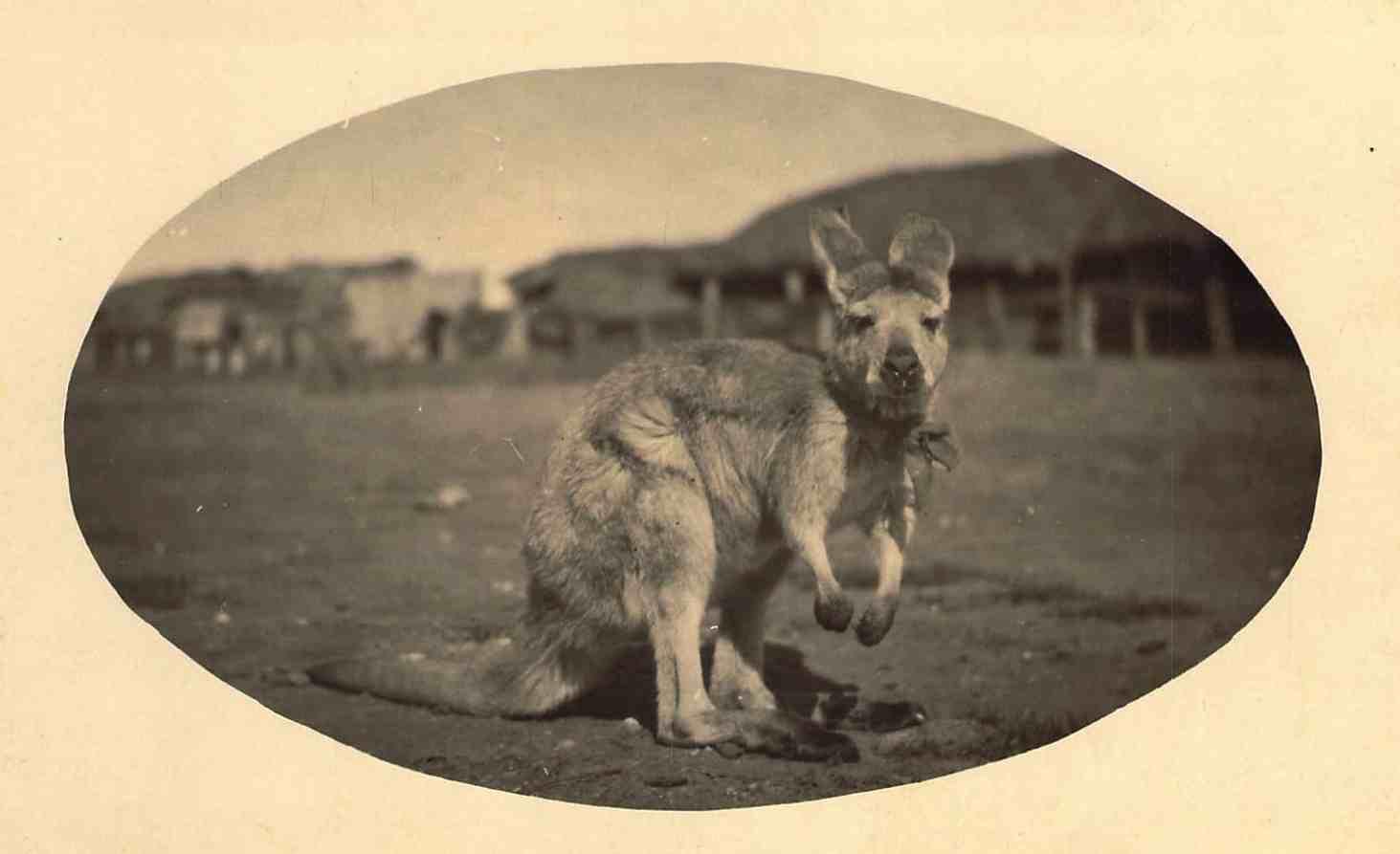Pet_Kangaroo_Ed_Z.