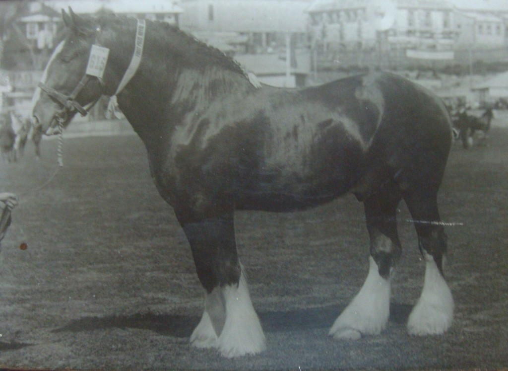Clydesdale Adealide show winner
